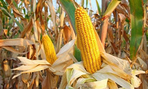 Corn and Corn Field