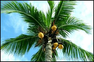 Coconut (Nariyal)