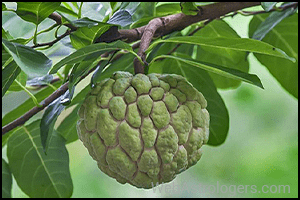Custard apple (Sitaphal)