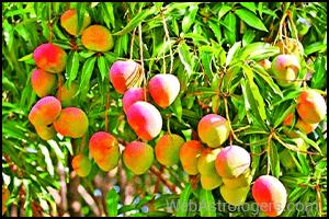 Mango (Aam)