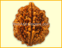Two facet Rudraksha