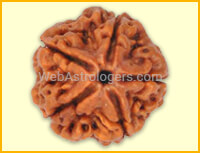 Five Facet Rudraksha