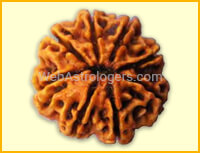Eight Facet Rudraksha